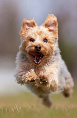 terriers: A happy Yorkshire terrier running at the camera, shallow depth of field with focus on the face