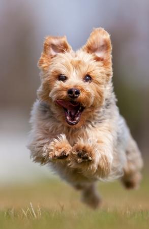 Un feliz corriendo a la cámara, la profundidad de campo con énfasis en la cara de Yorkshire terrier Foto de archivo