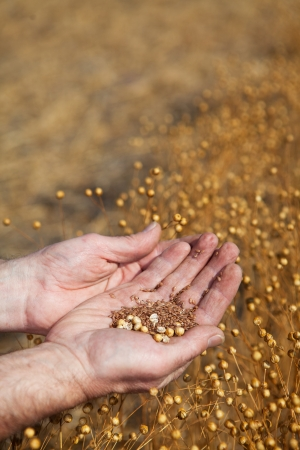 flax: A farmer  holding a sample of this years flax harvest, focus on seeds   Stock Photo