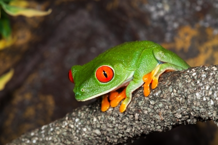 Red Eyed Tree Frog in a rainforest.  版權商用圖片