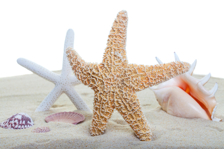 starfish and shells on beach sand with a white background   focus on the front starfish