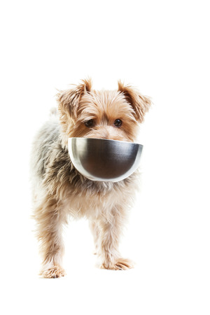Hungry yorkshire terrier with his food dish in its mouth. On a white background.