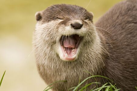 otter: Eurasian River Otter (lutra lutra) with mouth open towards viewer Stock Photo