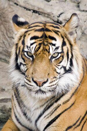 panthera tigris sumatrae: Head shot of Sumatran Tiger looking at viewer