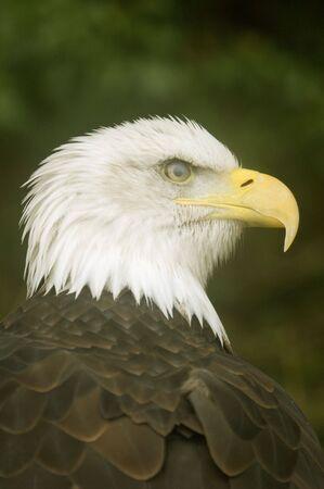 haliaeetus leucocephalus: Close up of Bald Eagle (haliaeetus leucocephalus) - portrait orientation