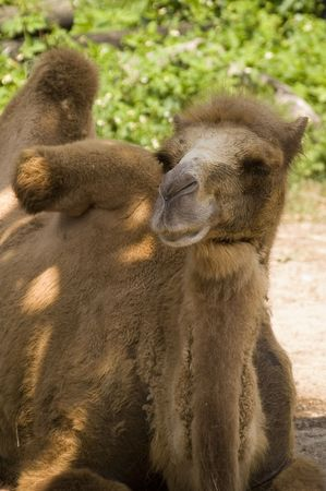 Bactrian Camel (camelus bactrianus) looking at viewer photo