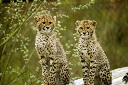 jubatus: Two Cheetah cubs looking at viewer (Acinonyx jubatus) - landscape orientation
