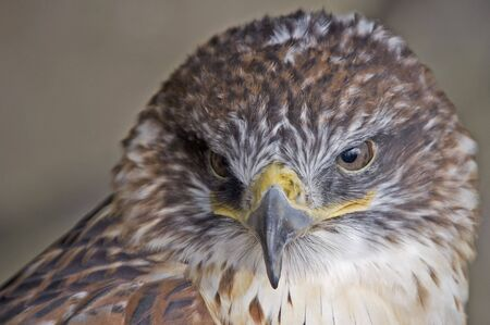 Ferruginous Buzzard (Buteo Regalis) looking at the viewer Stock Photo - 840081