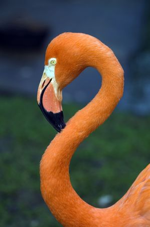 phoenicopterus: Head shot of Chilean Flamingo (phoenicopterus chilensis) looking at viewer