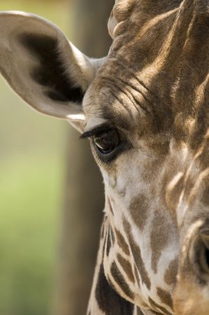 nostril: Head shot of Giraffe (giraffa camelopardalis) looking at viewer