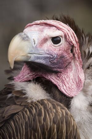 lappet: Headshot of Lappet Faced Vulture (torgos tracheliotus) looking at viewer