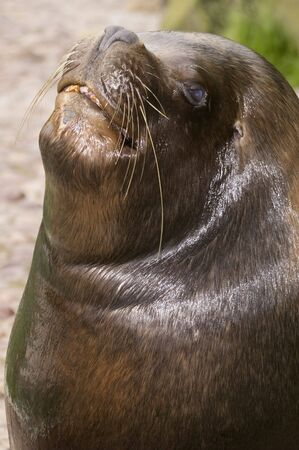 patagonian: Patagonian Sea Lion (otaria byronia) - portrait orientation