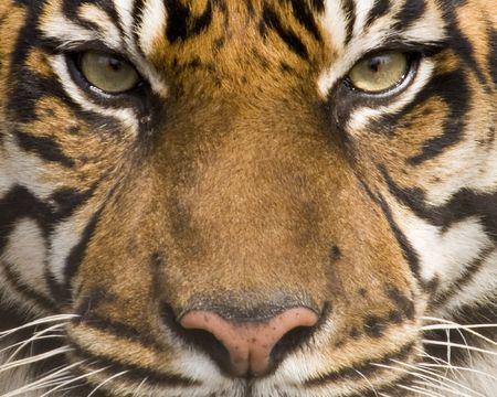 panthera tigris sumatrae: Sumatran Tiger (panthera tigris sumatrae) looking at viewer - landscape orientation
