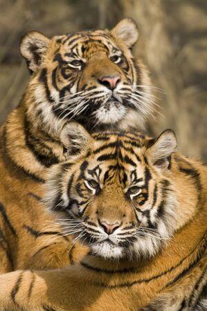 panthera tigris: Tigre de Sumatra (Panthera Tigris sumatrae) en busca espectador - orientaci�n vertical  Foto de archivo
