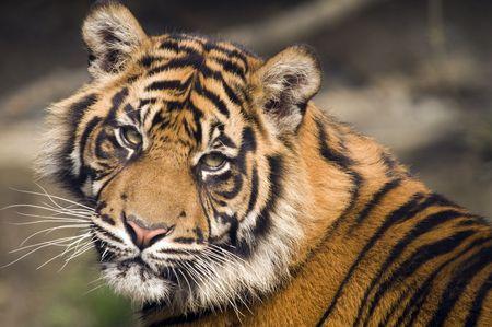 sumatran tiger: La tigre di Sumatra (Panthera tigris sumatrae) guardando spettatore - l'orientamento orizzontale