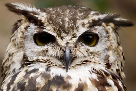 European Eagle Owl (Bubo Bubo Bubo) looking at viewer - landscape orientation photo