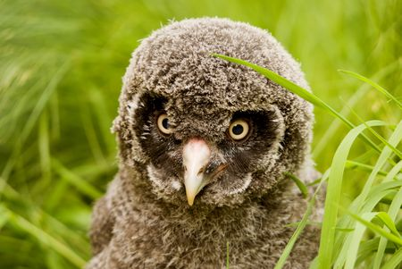 viewer: Great Grey Owl chick (Strix nebulosa lapponica) looking at viewer - landscape orientation Stock Photo