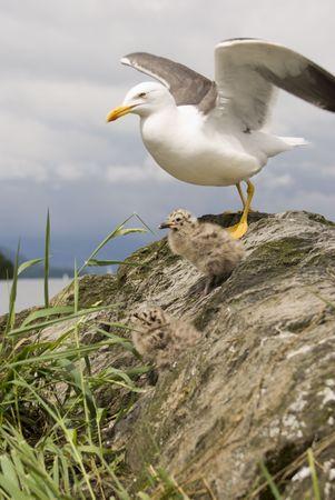 larus: Lesser Black-backed Gull (Larus Fuscus) & Chicks - portrait orientation Stock Photo