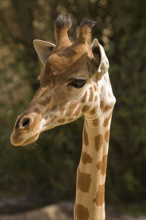 camelopardalis reticulata: Head shot of Giraffe (giraffa camelopardalis reticulata) portrait orientation