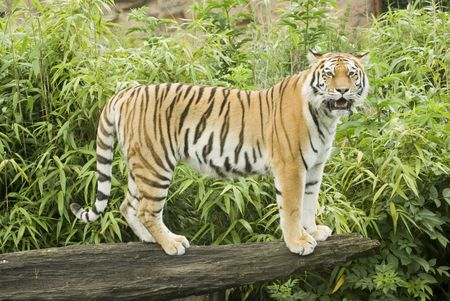 the amur: Amur Tiger (Panthera tigris altaica) looking at viewer - landscape orientation