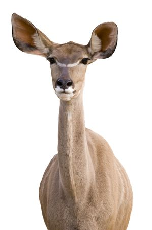 Greater Kudu (tragelaphus strepsiceros)  - portrait orientation photo