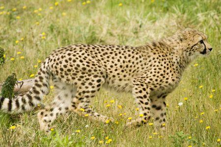 jubatus: Cheetah (Acinonyx jubatus) - landscape orientation