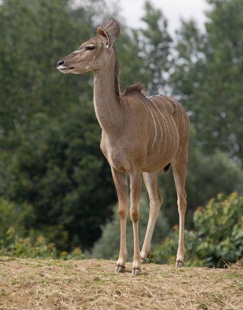 Greater Kudu (tragelaphus strepsiceros)  - portrait orientation photo