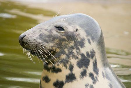 pinniped: Grey Seal (Halichoerus grypus) - landscape orientation