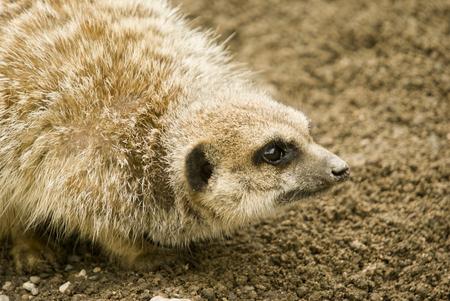 suricatta: Meerkat (suricata suricatta) - landscape orientation Stock Photo