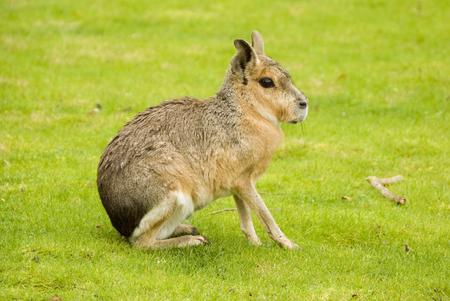 patagonian: Patagonian Hare (Dolichotis patagonum) - landscape orientation