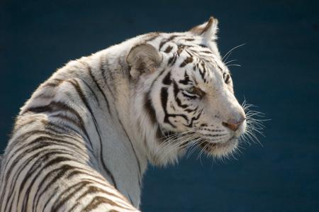 sumatran tiger: Amur Tiger (Panthera tigris altaica) - landscape orientation Stock Photo