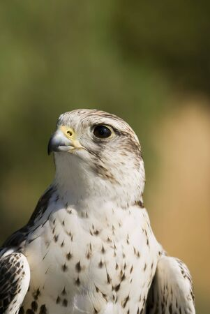 cherrug: Saker Falcon (Falco cherrug) - portrait orientation