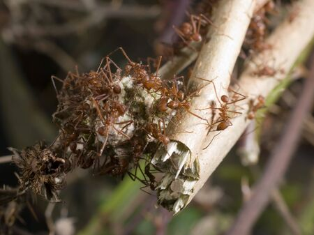 acromyrmex: Leafcutter ants (Acromyrmex) - landscape orientation