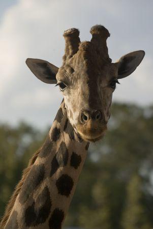 giraffa camelopardalis reticulata: Head shot of Giraffe (giraffa camelopardalis reticulata) portrait orientation