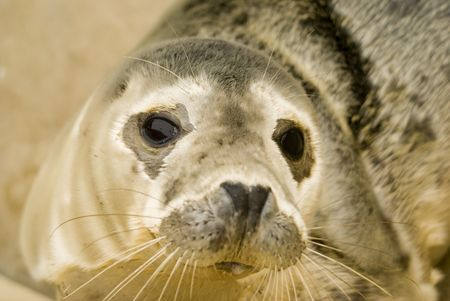 pinniped: Rescued Grey Seal Pup (Halichoerus grypus) - shallow DOF - focus on eyes