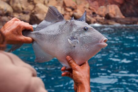 trigger fish: Close up of Trigger fish (Balistes capriscus Gmelin) held in hands