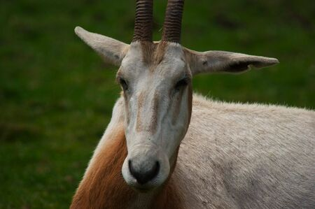 scimitar: Scimitar horned Oryx (oryx dammah) Stock Photo