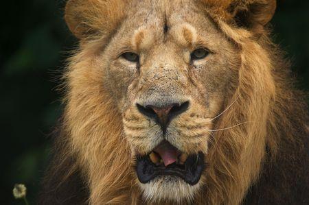 Close up of Lion (Panthera leo) photo
