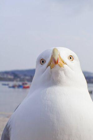 larus: Great Black backed Gull (Larus marinus)