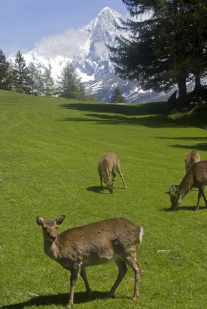 Reindeer (Rangifer tarandus) in Chamonix France photo