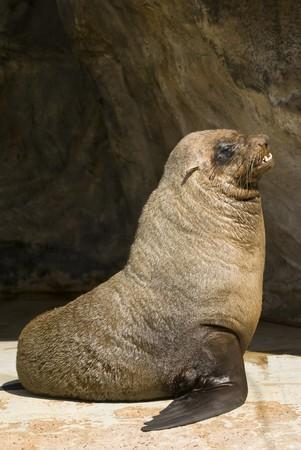 pinniped: Closeup of South African Fur Seal (pusillus pusillus)