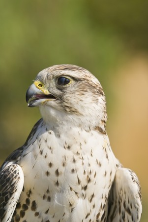 cherrug: Saker Falcon (Falco cherrug) - landscape orientation