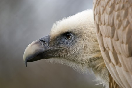 Closeup of Eurasian Griffon Vulture (Gyps fulvus) photo