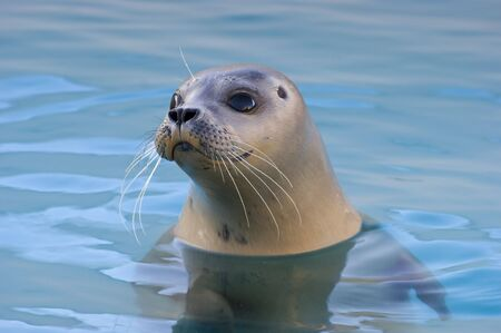 pinniped: Rescued Harbour Seal or common seal (Phoca Vitulina)