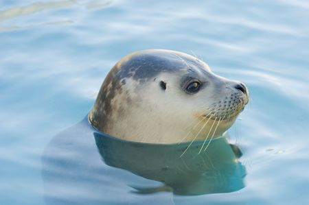 rescued: Rescued Harbour Seal or common seal (Phoca Vitulina)