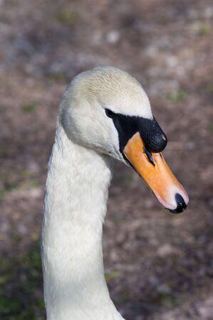 cygnus olor: Closeup of a Mute Swan (Cygnus olor) Stock Photo