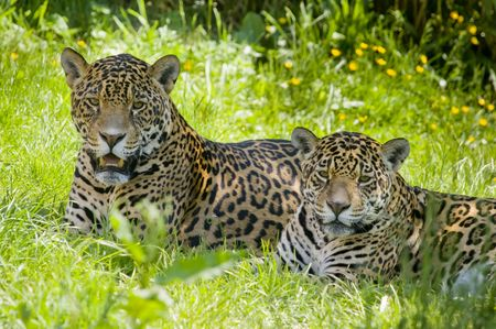 onca: Close up of a Jaguar (Panthera onca) in forest Stock Photo