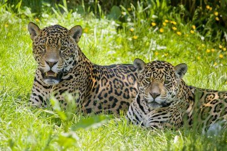 panthera onca: Close up of a Jaguar (Panthera onca) in forest Stock Photo