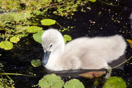 cygnus olor: Closeup of a Mute Swan Signet (Cygnus olor) Stock Photo