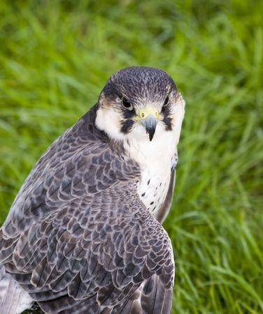 Close up of Peregrine Falcon (Falco peregrinus) photo